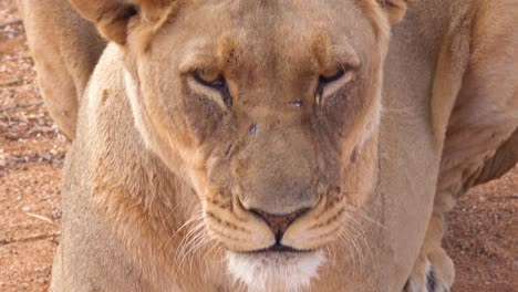 Extreme-close-up-of-a-beautiful-African-female-lion-yawning-and-snarling-in-Namibia