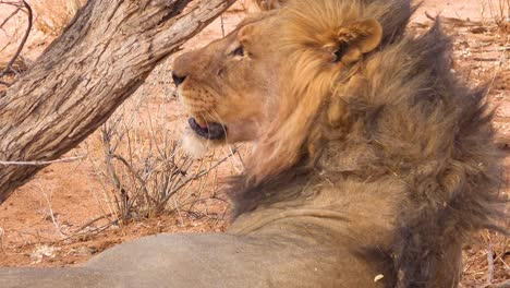 Extreme-close-up-of-a-proud-male-lion-rolling-on-the-ground-in-Etosha-National-Park-Namibia
