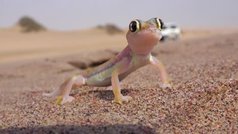 A-macro-close-up-of-a-cute-little-Namib-desert-gecko-lizard-with-large-reflective-eyes-sits-in-the-sand-in-Namibia-with-a-safari-vehicle-passing-background