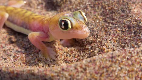 A-macro-close-up-of-a-cute-little-Namib-desert-gecko-lizard-with-large-reflective-eyes-digging-in-the-sand-in-Namibia-with-a-safari-vehicle-passing-background