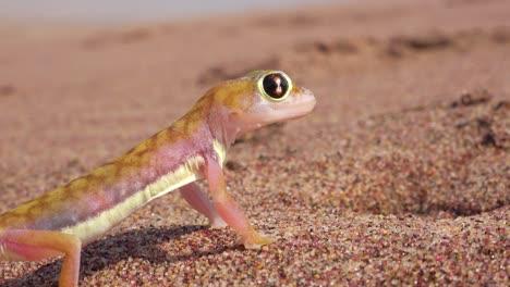 Una-Macro-De-Cerca-De-Un-Pequeño-Y-Lindo-Lagarto-Gecko-Del-Desierto-De-Namib-Con-Grandes-Ojos-Reflectantes-Lamiendo-Los-Globos-Oculares-En-La-Arena-En-Namibia-Con-Un-Vehículo-De-Safari-Que-Pasa-De-Fondo