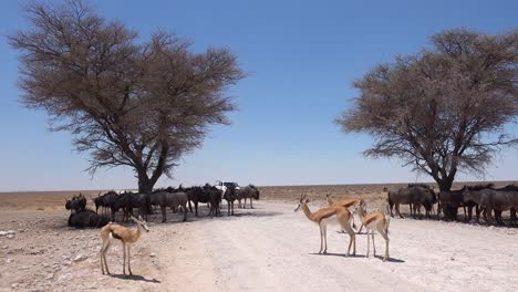 Wildebeest-and-springbok-take-shelter-from-the-midday-sun-under-acacia-trees-as-a-safari-vehicle-approaches-Etosha-National-park-Namibia