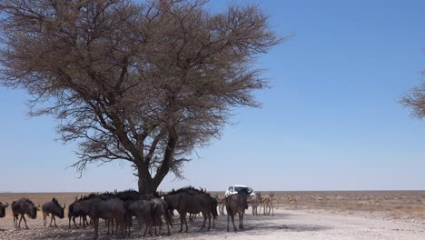 Wildebeest-and-springbok-take-shelter-from-the-midday-sun-under-acacia-trees-as-a-safari-vehicle-approaches-Etosha-National-park-Namibia-1