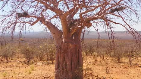 Antena-De-Lento-Aumento-De-Un-árbol-Baobab-Gigante-En-El-Norte-De-Namibia-O-En-El-Sur-De-Angola