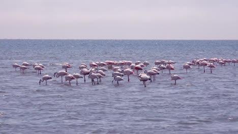 Flamingos-wade-in-shallow-water-in-a-bay-near-Walvis-Bay-Namibia