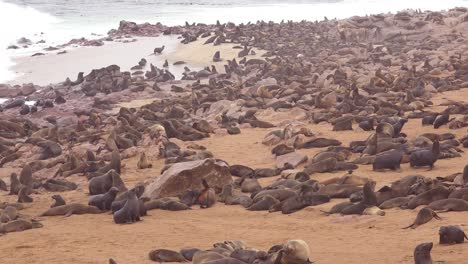 Thousands-of-seals-and-baby-pups-gather-on-an-Atlantic-beach-at-Cape-Cross-Seal-Reserve-Namibia-8