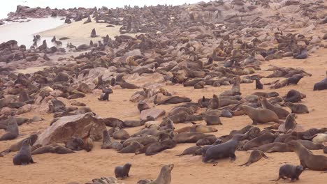 Thousands-of-seals-and-baby-pups-gather-on-an-Atlantic-beach-at-Cape-Cross-Seal-Reserve-Namibia-9