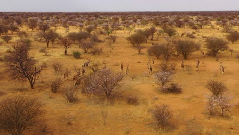 Extraordinaria-Toma-Aérea-De-Antílope-Eland-Corriendo-Por-El-Monte-Y-La-Sabana-De-África-Cerca-De-Erindi-Namibia