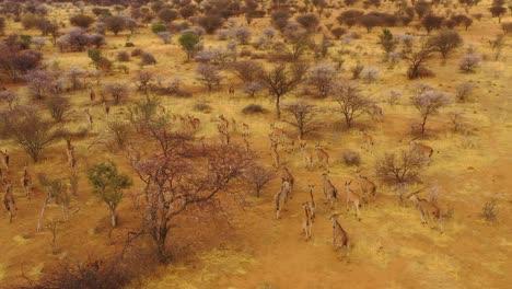 Extraordinaria-Toma-Aérea-De-Antílope-Eland-Migrando-A-Través-De-La-Selva-Y-La-Sabana-De-África-Cerca-De-Erindi-Namibia