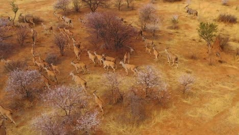 Remarkable-aerial-shot-of-eland-antelope-migrating-across-the-bush-and-savannah-of-Africa-near-Erindi-Namibia-1