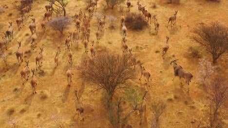 Remarkable-aerial-shot-of-eland-antelope-migrating-across-the-bush-and-savannah-of-Africa-near-Erindi-Namibia-2