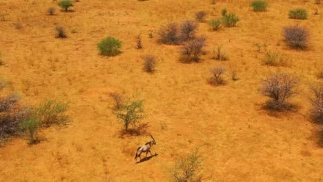 Aerial-over-a-lone-solo-oryx-antelope-walking-on-the-plains-of-Africa-near-Erindi-Namibia-1