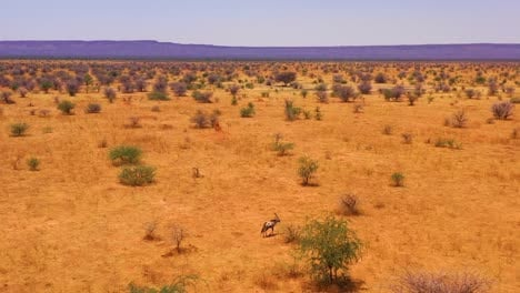 Aerial-over-a-lone-solo-oryx-antelope-walking-on-the-plains-of-Africa-near-Erindi-Namibia-2