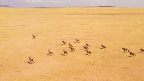 Astonishing-aerial-over-huge-herds-of-oryx-antelope-wildlife-running-fast-across-empty-savannah-and-plains-of-Africa-near-the-Namib-Desert-Namibia-1