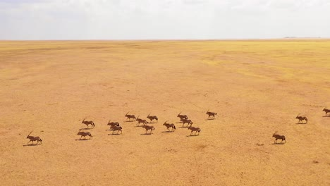 Astonishing-aerial-over-huge-herds-of-oryx-antelope-wildlife-running-fast-across-empty-savannah-and-plains-of-Africa-near-the-Namib-Desert-Namibia-2