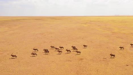 Asombrosa-Antena-Sobre-Enormes-Manadas-De-Antílopes-Oryx-Vida-Silvestre-Corriendo-Rápido-A-Través-De-La-Sabana-Vacía-Y-Las-Llanuras-De-África-Cerca-Del-Desierto-De-Namib-Namibia-2