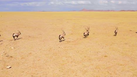 Astonishing-aerial-over-huge-herds-of-oryx-antelope-wildlife-running-fast-across-empty-savannah-and-plains-of-Africa-near-the-Namib-Desert-Namibia-3