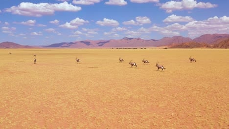 Astonishing-aerial-over-herd-of-oryx-antelope-wildlife-running-fast-across-empty-savannah-and-plains-of-Africa-near-the-Namib-Desert-Namibia