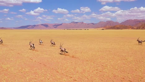 Astonishing-aerial-over-herd-of-oryx-antelope-wildlife-running-fast-across-empty-savannah-and-plains-of-Africa-near-the-Namib-Desert-Namibia-1