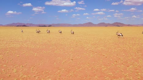 Astonishing-aerial-over-herd-of-oryx-antelope-wildlife-running-fast-across-empty-savannah-and-plains-of-Africa-near-the-Namib-Desert-Namibia-2