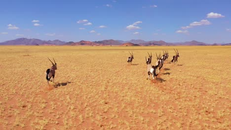 Astonishing-aerial-over-herd-of-oryx-antelope-wildlife-running-fast-across-empty-savannah-and-plains-of-Africa-near-the-Namib-Desert-Namibia-3