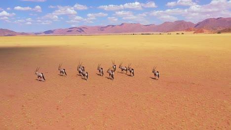 Aerial-over-herd-of-oryx-antelope-wildlife-walking-across-empty-savannah-and-plains-of-Africa-near-the-Namib-Desert-Namibia