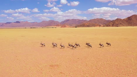 Aerial-over-herd-of-oryx-antelope-wildlife-walking-across-empty-savannah-and-plains-of-Africa-near-the-Namib-Desert-Namibia-1