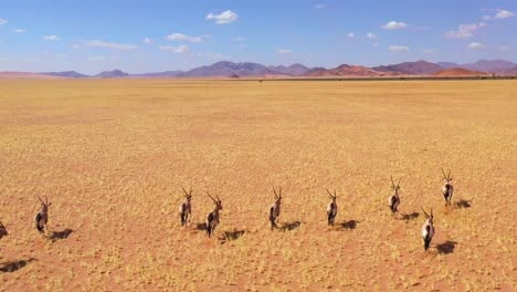 Astonishing-aerial-over-herd-of-oryx-antelope-wildlife-running-fast-across-empty-savannah-and-plains-of-Africa-near-the-Namib-Desert-Namibia-6