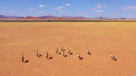 Astonishing-aerial-over-herd-of-oryx-antelope-wildlife-running-fast-across-empty-savannah-and-plains-of-Africa-near-the-Namib-Desert-Namibia-8