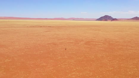 Aerial-over-a-lone-antelope-running-toward-a-herd-of-oryx-across-empty-savannah-and-plains-of-Africa-near-the-Namib-Desert-Namibia
