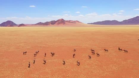 Aerial-over-herd-of-oryx-antelope-wildlife-walking-across-dry-empty-savannah-and-plains-of-Africa-near-the-Namib-Desert-Namibia