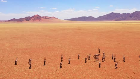 Aerial-over-herd-of-oryx-antelope-wildlife-walking-across-dry-empty-savannah-and-plains-of-Africa-near-the-Namib-Desert-Namibia-1