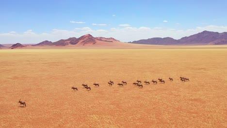 Aerial-over-herd-of-oryx-antelope-wildlife-walking-across-empty-savannah-and-plains-of-Africa-near-the-Namib-Desert-Namibia-2