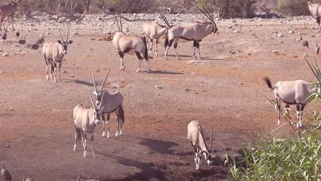 Oryx-antelopes-arrive-at-a-watering-hole-in-Etosha-National-park-Namibia