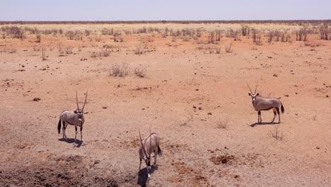 Oryx-antelopes-arrive-at-a-watering-hole-in-Etosha-National-park-Namibia-1