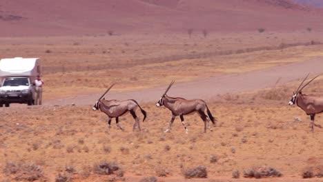 Oryx-antelopes-run-across-a-road-in-the-Namib-Desert-Namibia-1