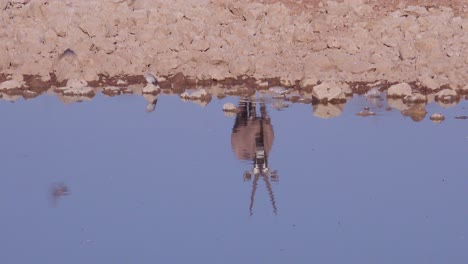 A-solo-oryx-antelope-is-reflected-in-a-watering-hole-at-Etosha-National-Park-Namibia