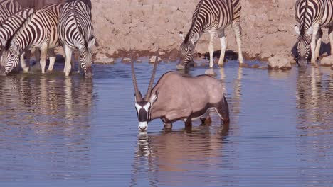 A-solo-oryx-antelope-drinks-at-a-watering-hole-at-Etosha-National-Park-Namibia