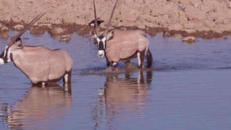 Two-oryx-antelope-drink-at-a-watering-hole-at-Etosha-National-Park-Namibia