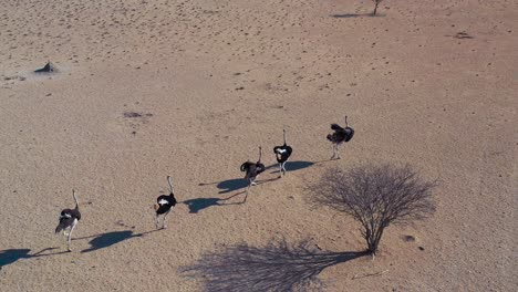 Aerial-over-ostriches-running-in-a-group-in-Namibia
