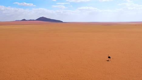 Aerial-as-a-very-lonely-ostrich-walks-on-the-plains-of-Africa-in-the-Namib-desert-Namibia-2