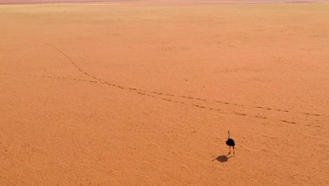 Aerial-as-a-very-lonely-ostrich-walks-on-the-plains-of-Africa-in-the-Namib-desert-Namibia-4