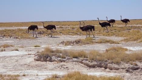 Un-Grupo-De-Avestruces-Camina-Por-El-Parque-Nacional-De-Etosha-Namibia