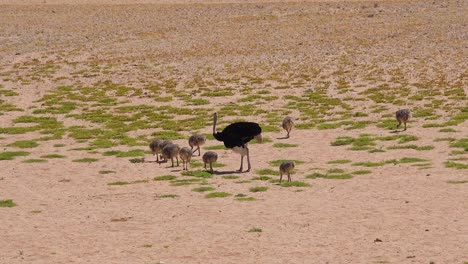 A-mother-bird-ostrich-and-her-babies-walk-in-the-desert