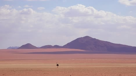 A-very-lonely-ostrich-walks-on-the-plains-of-Africa-in-the-Namib-desert-Namibia