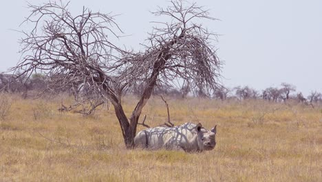 An-African-white-rhino-sits-under-a-tree-in-the-heat-of-Etosha-National-Park-Namibia