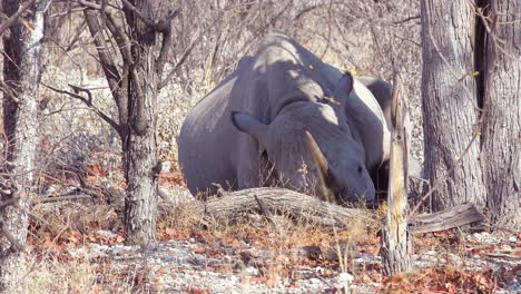 An-African-white-rhino-with-horn-sits-under-a-tree-in-the-heat-of-Etosha-National-Park-Namibia
