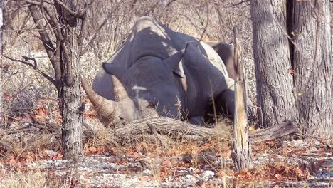 An-African-white-rhino-with-horn-sits-under-a-tree-in-the-heat-of-Etosha-National-Park-Namibia-1
