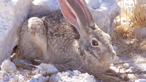 An-alert-African-scrub-hare-rabbit-with-very-large-ears-sits-on-the-ground