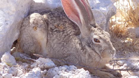 An-alert-African-scrub-hare-rabbit-with-very-large-ears-sits-on-the-ground-1